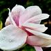 Virágszirom cseppekkel
