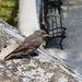 Lillafüredi rozsdás farkú madárka
