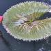 Miskolctapolcai virág