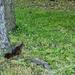 Miskolctapolcai mókus