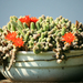 IMG 5302 kaktusz