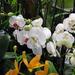 Album - Nemzetközi Orchidea Kiállítás Klosterneuburg