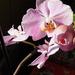 Otthoni orchideák, SzG3