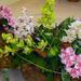 orchidea 125