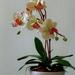 orchidea 117