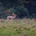 Charlecote deer-22