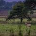 Charlecote deer-16