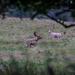Charlecote deer-13