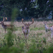 Charlecote deer-10