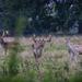 Charlecote deer-9