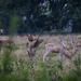 Charlecote deer-8