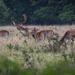 Charlecote deer-7