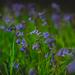 1- Bluebell