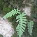 Édesgyökerű páfrány-Polypodium vulgare