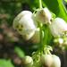 Mogyorós hólyagfa (Staphylea pinnata)