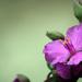 A szomszéd virága