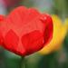 Tulipiros