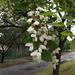 Akácvirág