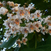 Virágzó szivarfa
