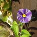 Encián fácskám első virága