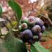 Borostyán termése