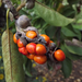Liliomfa termése