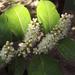 Babér virága