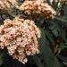 Ráncos levelű bangita