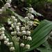 Gyöngyvirágok