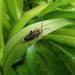 Lágybogár