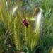 Szendergő bogár
