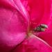Rózsaágyon