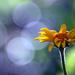 Virágom