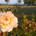 Bogácsi rózsa