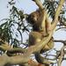Koala természetes élőhelyén