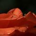 Sárga-rózsa
