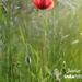 Poppy June