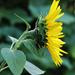 szőrvirág