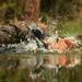 szajkó fürdőzés 3