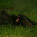 Rigó hímek párharca a területért