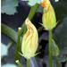 Cukkini virág