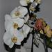 orchidea 14