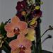 orchidea 15