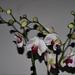 orchidea 16