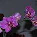 orchidea 18