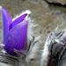 03 bimbózó leánykökörcsin