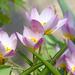 06 Tavasz virágai a kerékpárút mellett