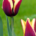 05 Májusi tulipánok