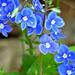 04 Veronika virágok