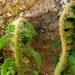 01 Sarjadó páfrány
